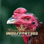 Ayam Bangkok Gombong, Kemampuan Bertarung Alami