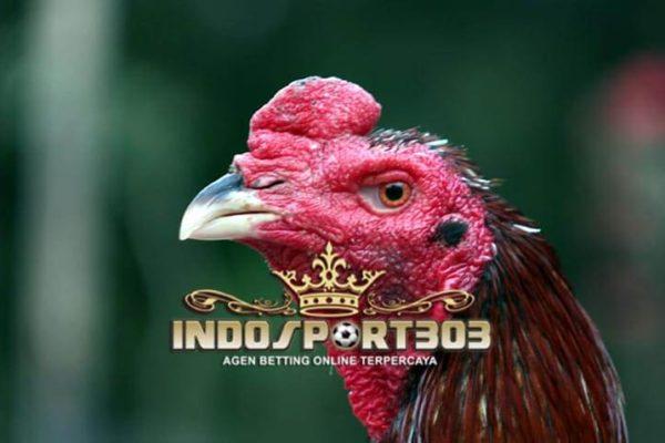 ayam bangkok gombong, jenis, ciri khas, kelebihan