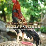 Ciri-Ciri Ayam Bangkok Petarung Yang Mematikan