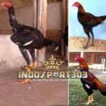 Kelebihan Dan Kelemahan Ayam Bangkok Kaki Panjang