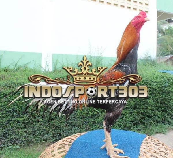 ayam bangkok kaki panjang, ciri khas, kelebihan, kelemahan