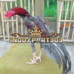 Ayam Bangkok Klawu Yang Diremehkan