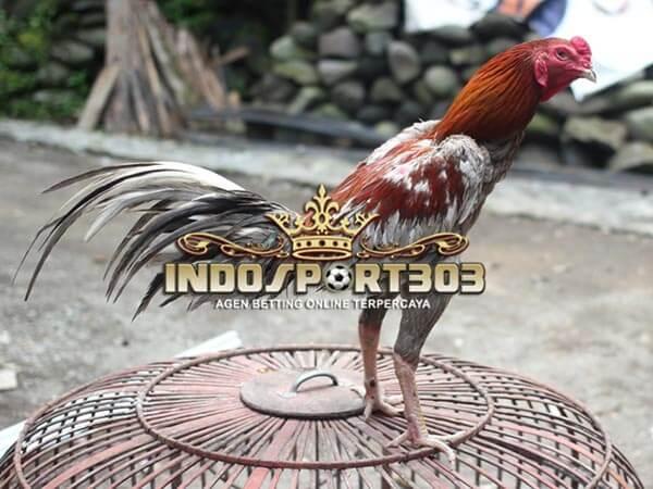 ayam bangkok klawu, ayam petarung, ciri khas, kelebihan