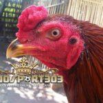 Cara Memerahkan Muka dan Badan Ayam Bangkok