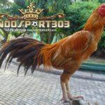 Kelebihan Ayam Panus Sebagai Ayam Petarung
