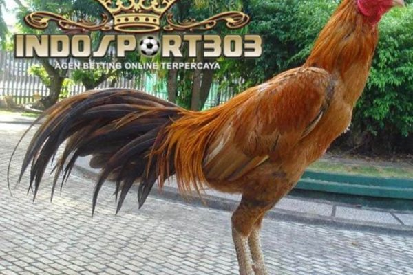 kelebihan ayam panus, ayam bangkok, kelebihan, ciri khas, ayam laga, ayam aduan, ayam petarung, langka