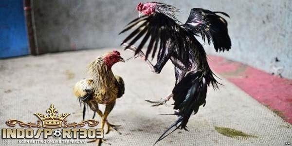 ayam bangkok pukul, terbang, dada, bada, ayam laga, ayam aduan