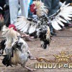 Keunggulan Ayam Bangkok Pukul Terbang