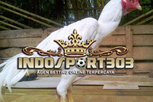 ayam bangkok putih, ayam kinantan, ayam petarung, ciri khas