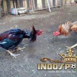 Jenis-Jenis Ayam Bangkok Suro Yang Melegenda