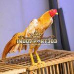 Ayam Bangkok Wangkas Emas, Lima Kelebihan Utama