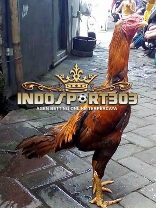 ayam bangkok, wangkas emas, ayam aduan, ayam petarung, ciri khas, kelebihan