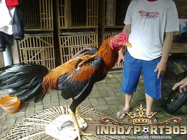 ayam bangkok, warna, bulu, istimewa, ciri khas, jenis