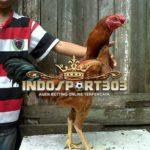 Keunggulan Ayam Birma Gostan