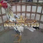 Keunggulan Ayam Blorok Madu Tembus