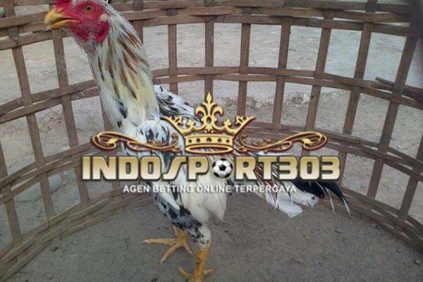 ayam bangkok, ayam blorok madu, ayam brumbun, ayam aduan, ayam laga