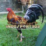 Keunggulan Dan Kelemahan Ayam Filipina Petarung