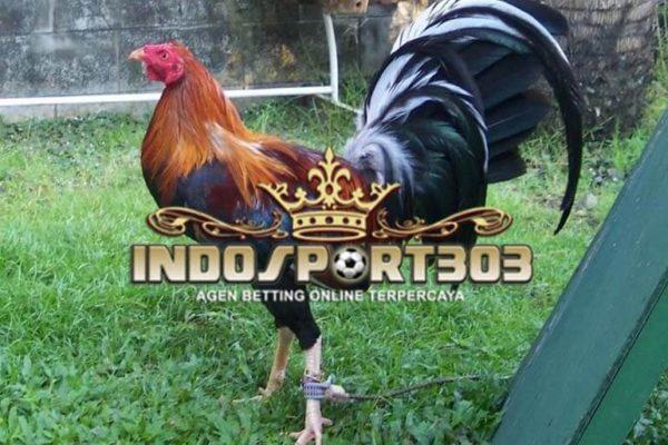 ayam filipina, ayam bangkok, ayam aduan, ayam petarung, ayam laga