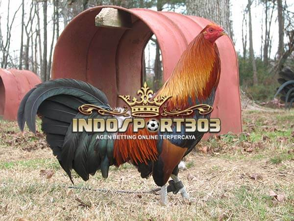 ayam petarung, ayam bangkok, trah, jenis, ayam aduan