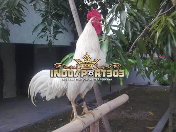 ayam ketawa, asli, indonesia, ayam aduan, ayam petarung, kontes