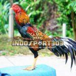 Ayam Lokal Indonesia Dengan Harga Selangit