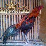 Ciri Khas Dan Keunggulan Ayam Magon