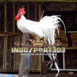 Onagadori, Ayam Kesayangan Kerajaan Jepang [VIDEO]