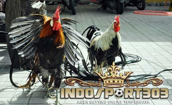 onagadori, ayam hias, ayam bangkok, ayam aduan, ayam laga