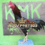 Keunggulan Ayam Pakhoy Di Dalam Arena Sabung Ayam [VIDEO]