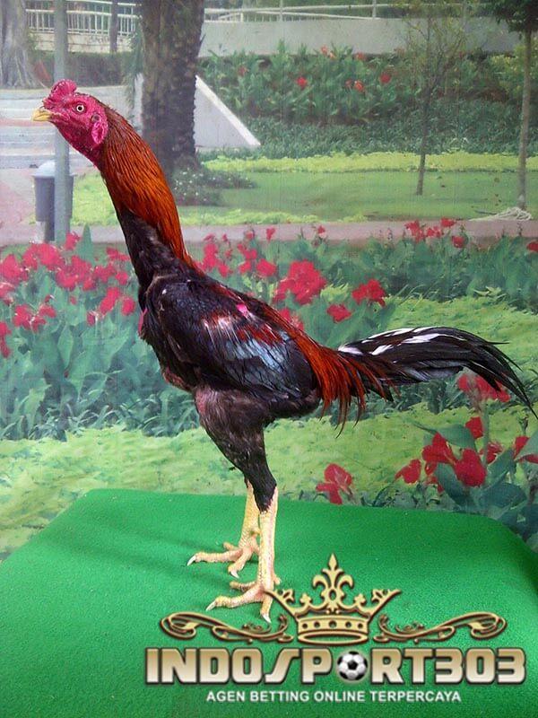 ayam pakhoy, ayam bangkok, ayam petarung, ayam laga, ayam aduan