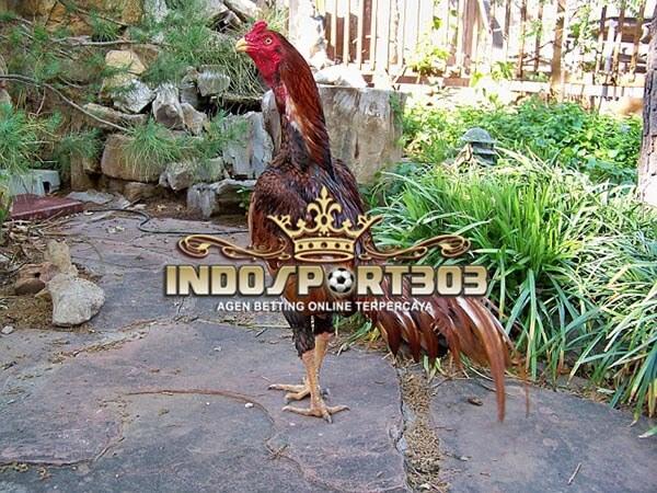ayam petarung, brazil, ciri khas, kelebihan