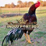 Kehebatan Ayam Petarung Brazil