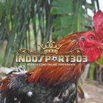 Cara Merawat Ayam Petarung Juara