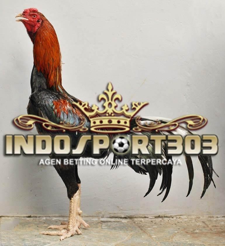 Kelebihan Ayam Petarung Mathai - SABUNG AYAM ONLINE
