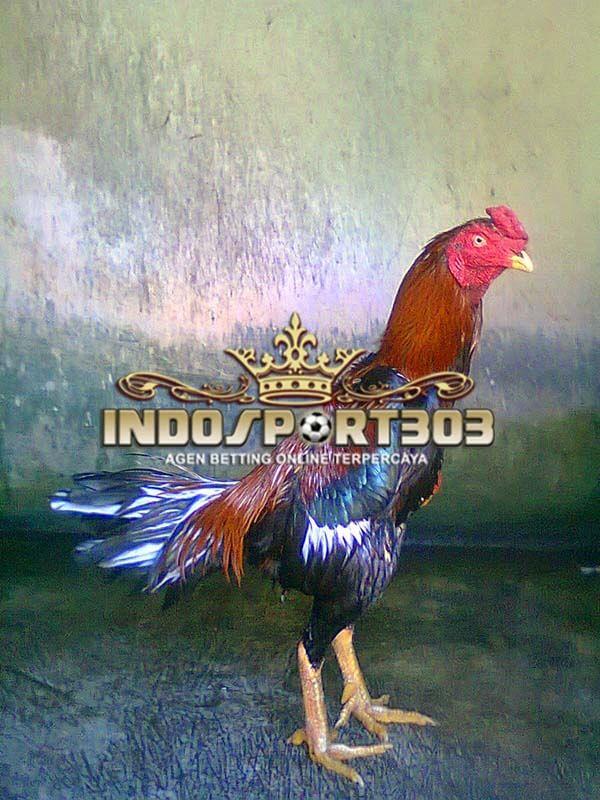 ayam petarung, ayam mathai, ayam aduan, ciri khas, kelebihan