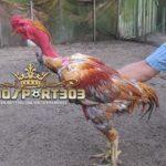 Keunggulan Dan Kelemahan Ayam Saigon