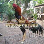 Ciri Khas Dan Keunggulan Ayam Siam