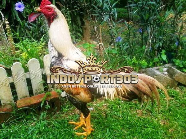 ayam siam, ayam bangkok, ayam kampung, ciri khas