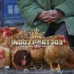 Di China, Ada Ayam Tertua Di Dunia