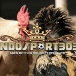 Ciri-Ciri Ayam Petarung Sulawesi