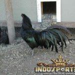 Black Sumatera, Ayam Petarung Asli Sumatera
