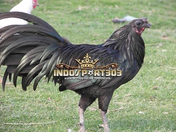 ayam sumatera, black sumatera, ayam petarung, ciri khas
