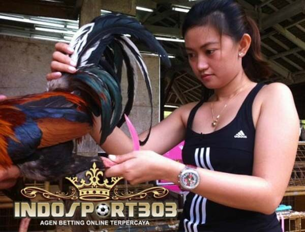 ayam petarung, cara, latihan, tips, ayam bangkok