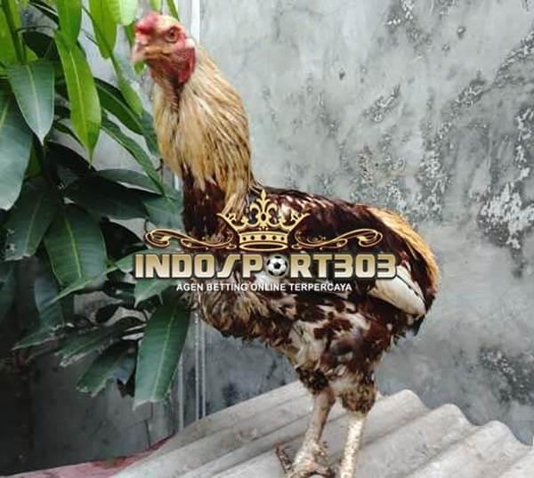 ayam tukung, ayam hias, ciri khas