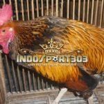 Ciri-Ciri Unik Ayam Tukung