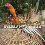 Mengetahui Petarung Unggul Dari Ekor Ayam Bangkok