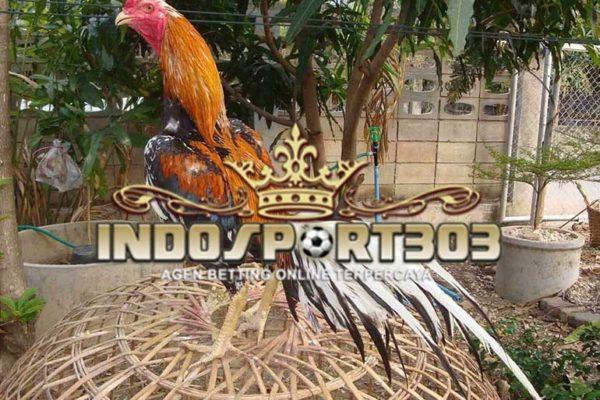 ayam bangkok, ekor, bulu, ciri, jenis, tips, ayam aduan, ayam petarung