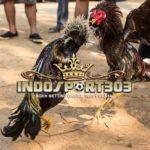 Jenis Pukulan Paling Mematikan Dari Ayam Bangkok