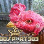 Cara Mencegah dan Mengobati Kurap Pada Ayam Bangkok