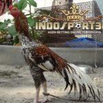 Jenis Ayam Petarung Aseel Yang Mendunia
